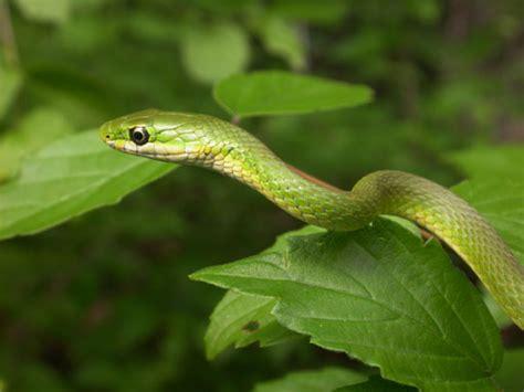 Garden Snake Diet Opheodrys Aestivus