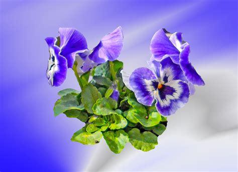 wallpaper bunga violet gambar wallpaper bunga ungu gudang wallpaper
