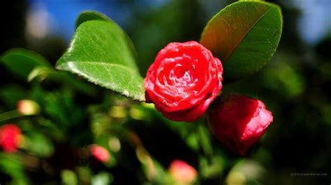 immagini fiori per desktop 1920 x 1080 primavera sfondi fiori immagini di sfondo