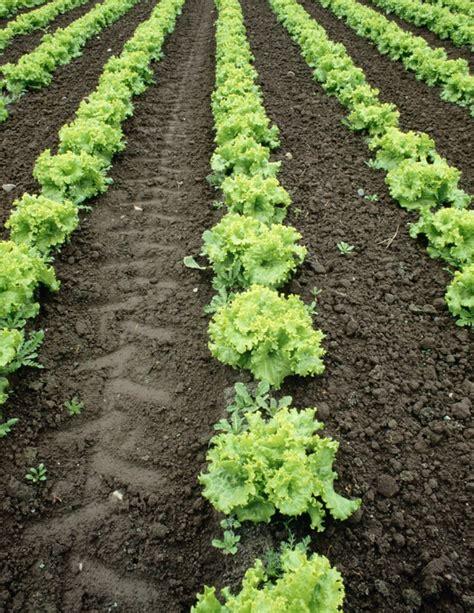 Iceberg Lettuce Elsa New Day Seed lettuce planting growing and harvesting lettuce plants
