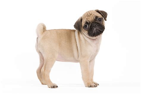pug white background white boxer puppy wallpaper models picture