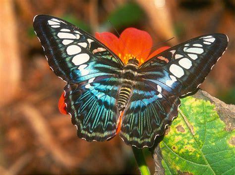 imagenes mariposas para uñas im 225 genes bonitas