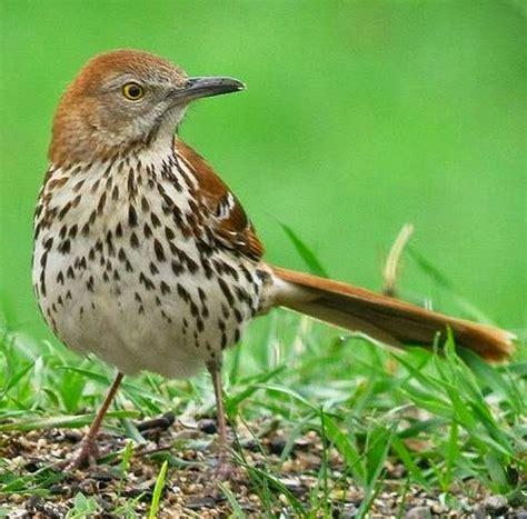 washington state bird facts gwa fourth grade social studies history
