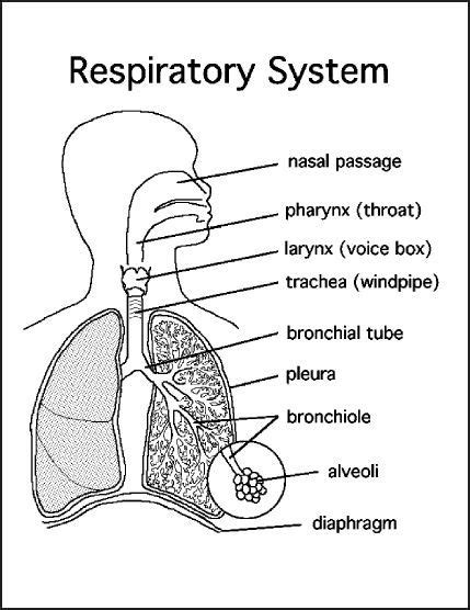 respiratory system diagram chsh teach the respiratory system teaching resources and