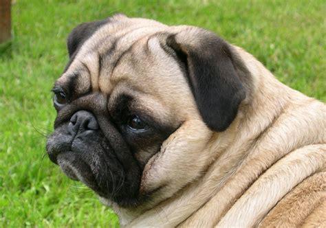 how much are pugs 2016 pugpugpug how do i make a depressed pug happy