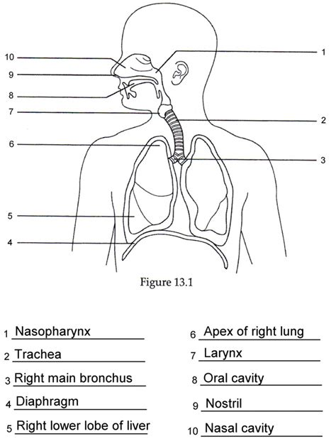 diagram of without labels respiratory system without labels diagram of human