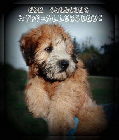 soft coated wheaten terrier puppies for adoption soft coated wheaten terrier puppies reputable breeder for sale adoption from edmonton