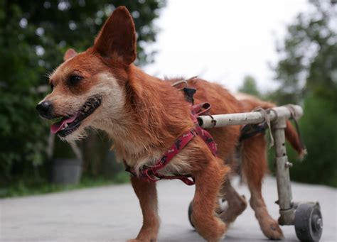 disabled dogs for adoption animal rescue center cares for dogs disabled in earthquake 1 of 12 zimbio