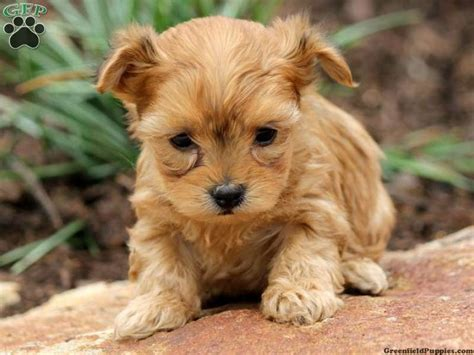 yorkie poos for sale in pa m 225 s de 1000 ideas sobre yorkie poo puppies en yorkies terrier