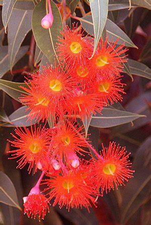 flowering gum trees nurseries