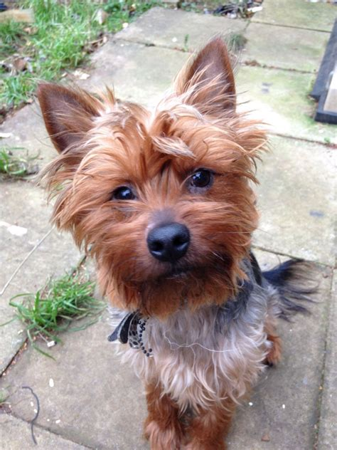 one year yorkie 1 year yorkies pictures 2 year teacup yorkie for sale salford my 1 year