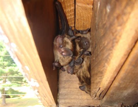 bat in bedroom while sleeping bats bother home sellers take a bite out of value