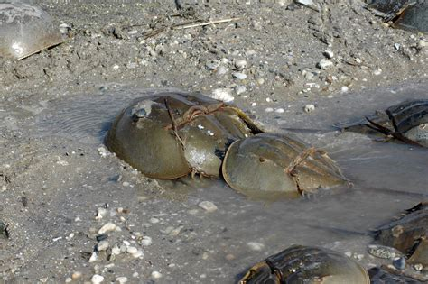 what color is horseshoe crab blood changing fortunes on delaware bay u s fish and wildlife
