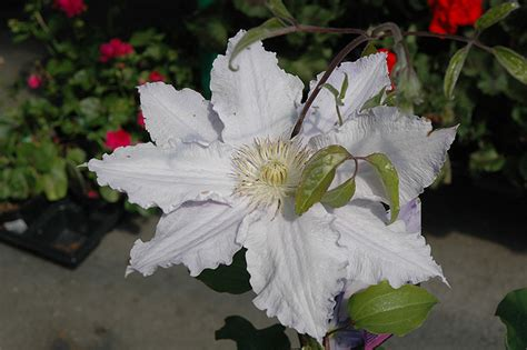 vancouver morning mist clematis clematis vancouver