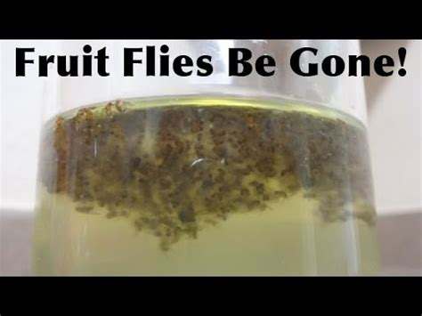 Home Remedies For Fruit Flies by Get Rid Of Your Fruit Flies Fast And Simple