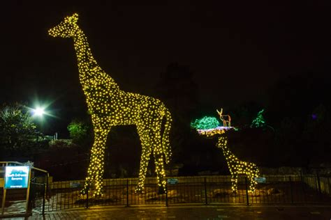 lights st louis zoo collection st louis zoo lights pictures best