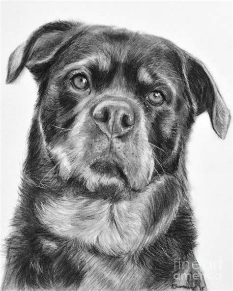 rottweiler drawings rottweiler drawing titled drawing by kate sumners