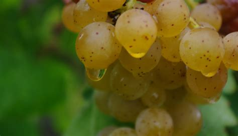 Grow Your Own Grape Vines by Grow Your Own Grapes Greenability Magazine