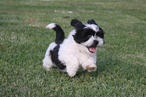 shih tzu x maltese puppies for sale nsw for sale maltese x shih tzu