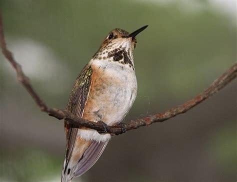 calliope hummingbird life expectancy