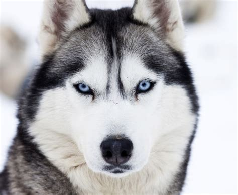 close up on blue eyes of husky canvas print pixers 174 we