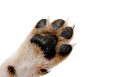 paw pad injury paw injuries causes symptoms how to clean paw pad injuries