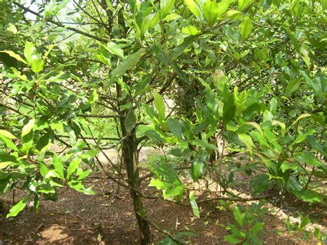 Minyak Cengkeh Terbaru daun cengkeh khasiat