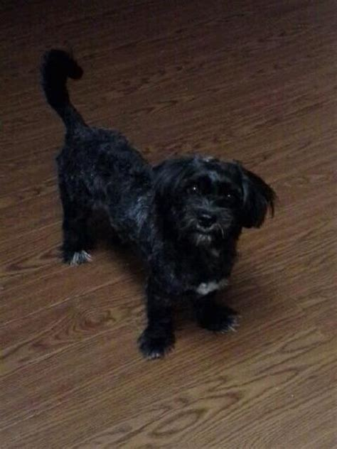 small black puppy lost my small black with white chest and undercoat houston spca