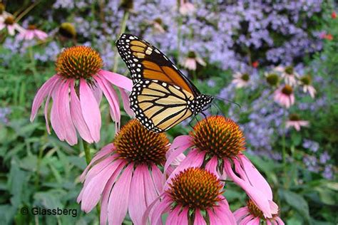 gardening for butterflies basics of butterfly gardening american butterfly