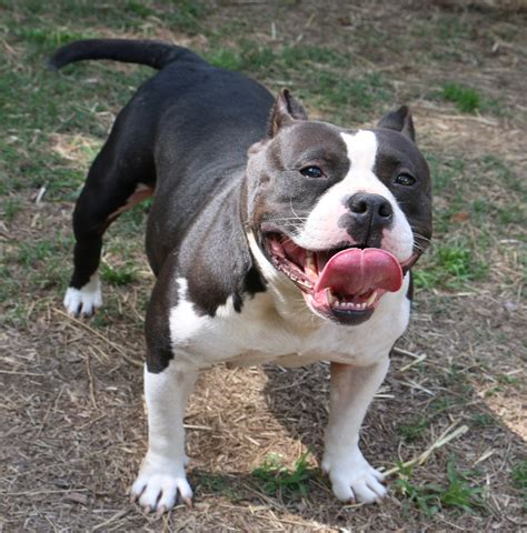 pitbull puppies for sale in ga pitbull puppies for sale blue pitbull puppies sale blue nose ga
