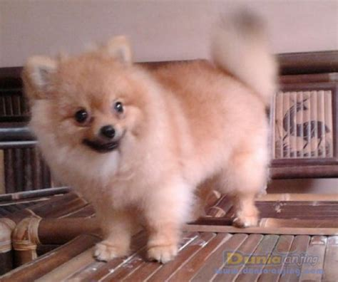 pomeranian small size dunia anjing jual anjing pomeranian minipom small size
