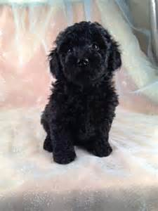 Schnoodle Dogs For Sale » Home Design 2017