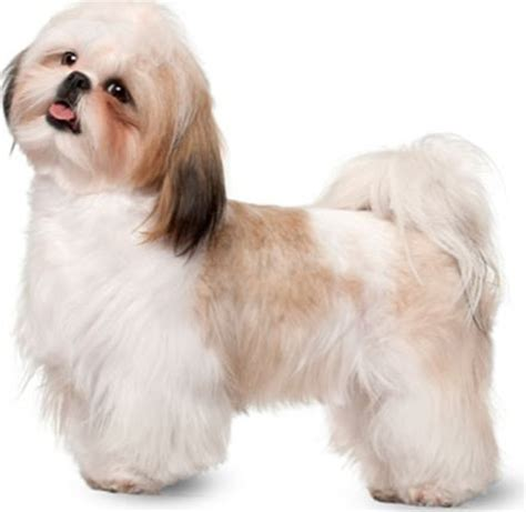 overweight shih tzu the best diet for a puppy or