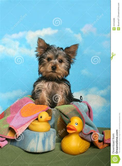 yorkie bath yorkie in a bath tub royalty free stock image image 24154286