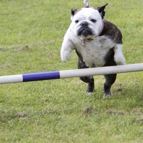 how to a for agility trials rescue dogs bust shelter pup stigma by competing in agility trials