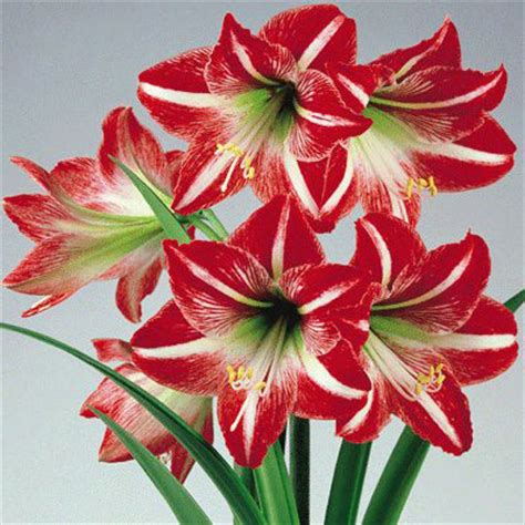 Bibit Amaryllis By Gerai Bibit jual bibit bunga amaryllis warna mix bijipedia