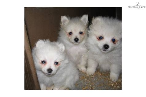 pomeranian breeders in washington state pomeranian husky mix for sale washington breeds picture