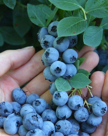 grow blueberries blueberry plant edible garden