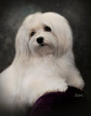 show havanese pin havanese puppies information image search results on