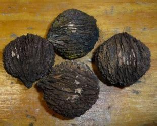 Fruit Warehouse Black Walnut Juglans Nigra