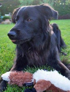 flat coated retriever mix puppies for sale beautiful flat coated retriever not a black golden retriever animals