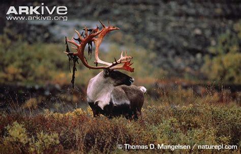 Reindeer Shed Antlers by Reindeer Photo Rangifer Tarandus G77079 Arkive