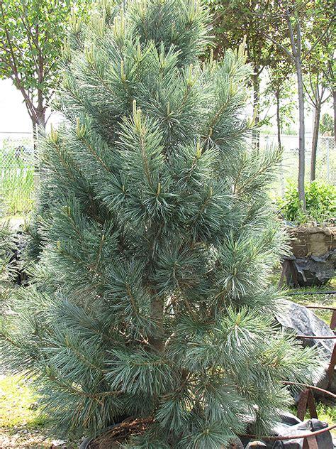 vanderwolfs pyramid pine pinus flexilis vanderwolfs