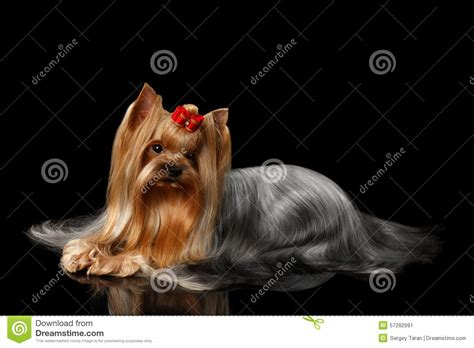 black mirror yorkie terrier lying on black mirror stock photo image 57282991