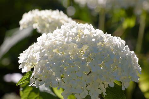 imagenes de hortencias blancas jardines verticales huichol selecci 243 n de las m 225 s