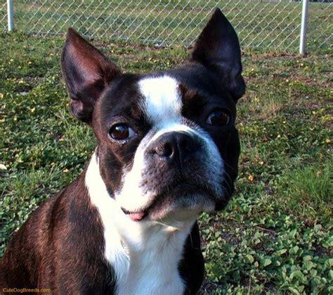 pug boston terrier mix health problems best 25 brindle boston terrier ideas on boston terrier puppies boston