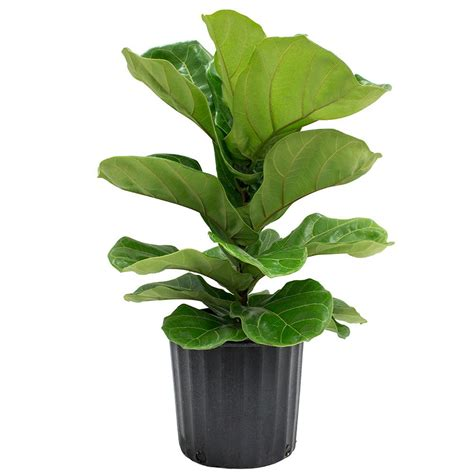 in door plants pot video three four plants argements delray plants 8 3 4 in ficus pandurata bush in pot 10pan the home depot