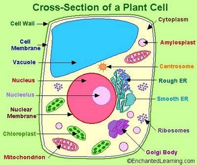 cross section of animal cell plant cell emily s classroom blog