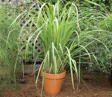 menanam serai  sederhana  mudah tanaman hias