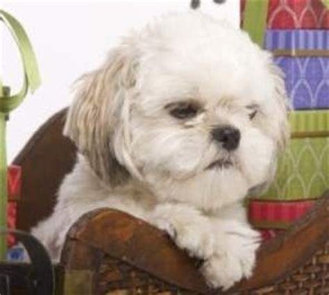 shih tzu pros and cons expected cost of a shih tzu puppy